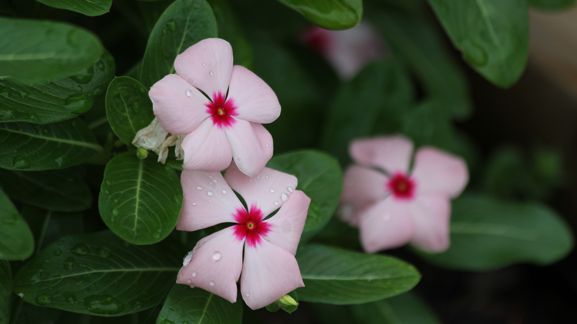 Three pink impatiens with red centers.