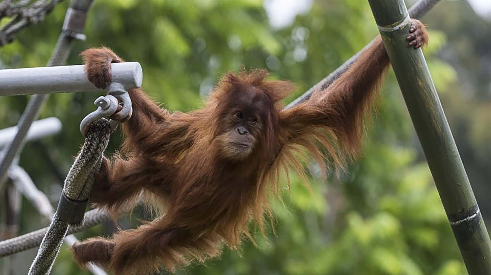 Aisha the orangutan enjoys climbing