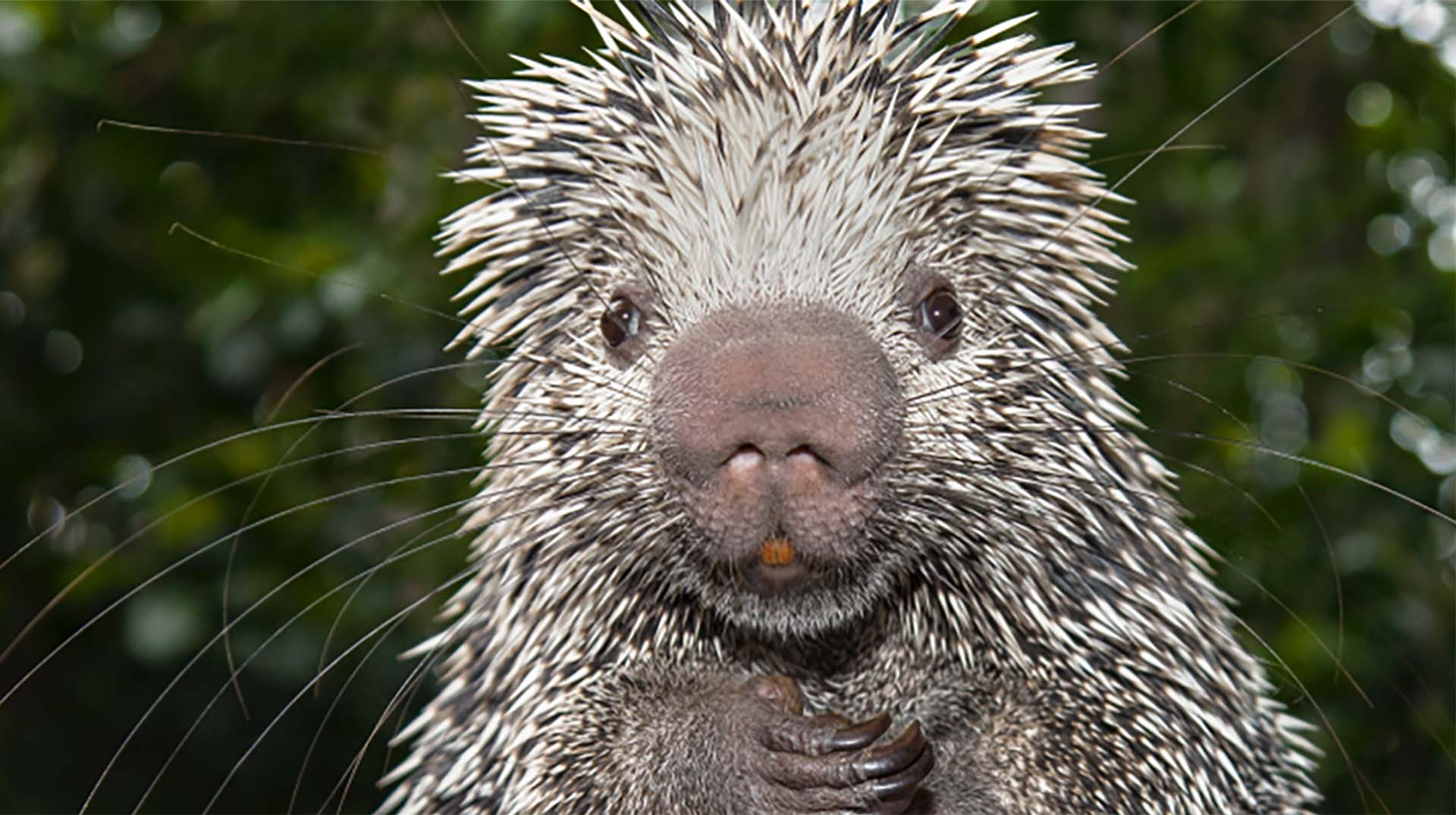 Porcupine quills are essentially hair with a stiff keratin coating