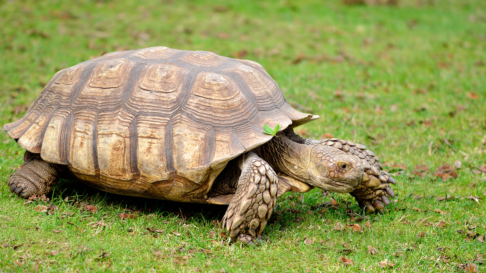 African spurred tortoise - photo#5