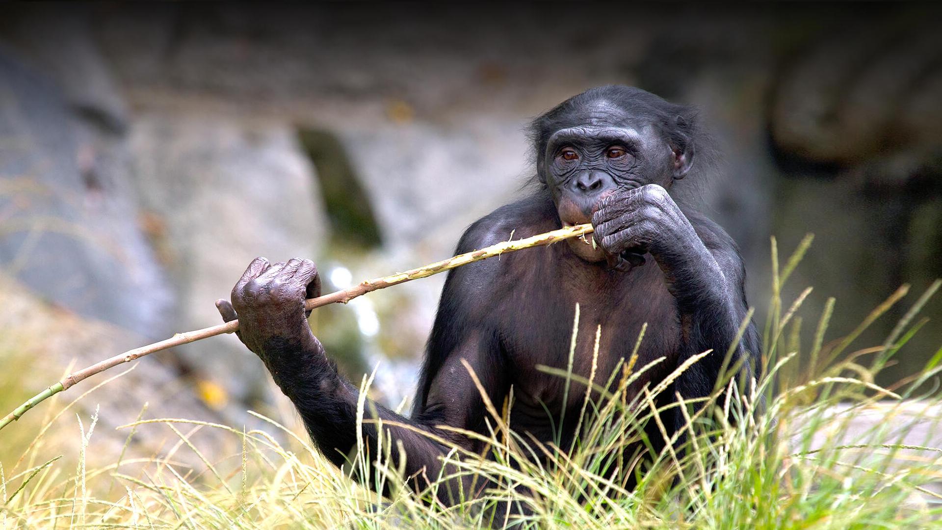 Bonobo | San Diego Zoo Animals & Plants