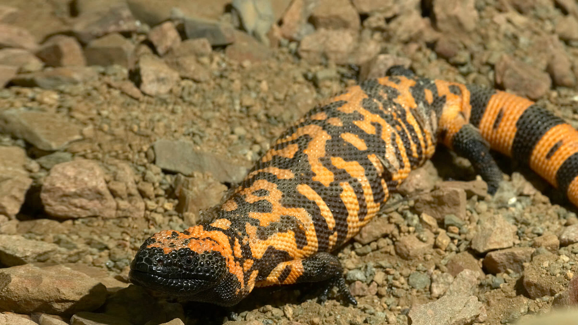 Gila monster crawling along rocky brown dirt