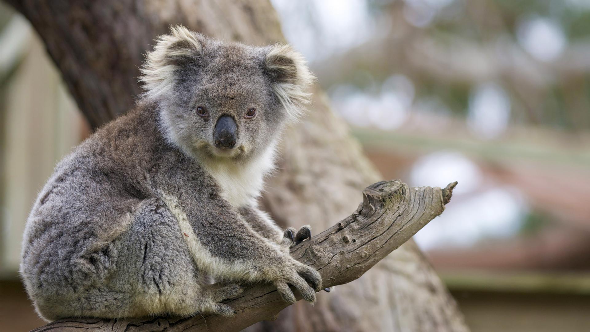 koala | Facts, Diet, &amp- Habitat | Britannica.com