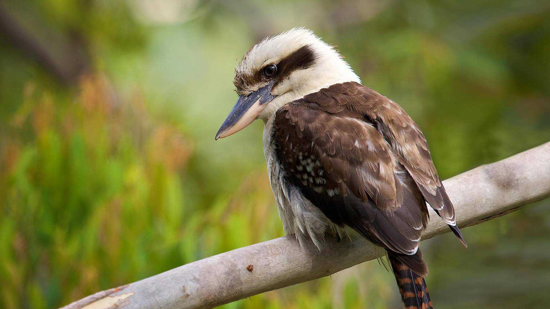 Laughing Kookaburra | San Diego Zoo Animals & Plants - photo#4