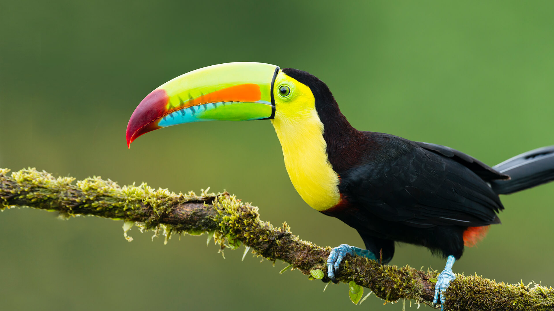 Image result for toucan