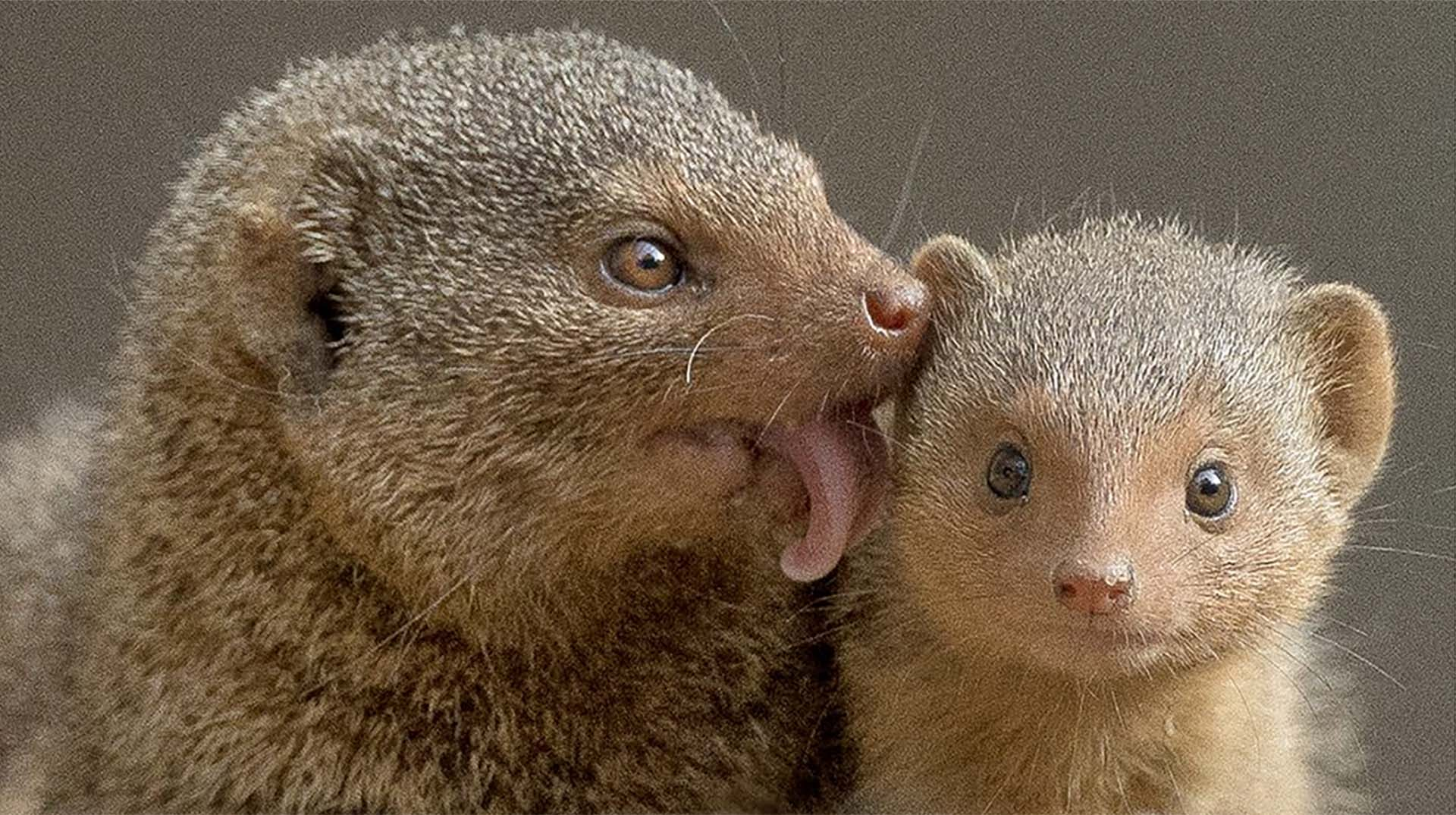 Dwarf mongoose mom and baby