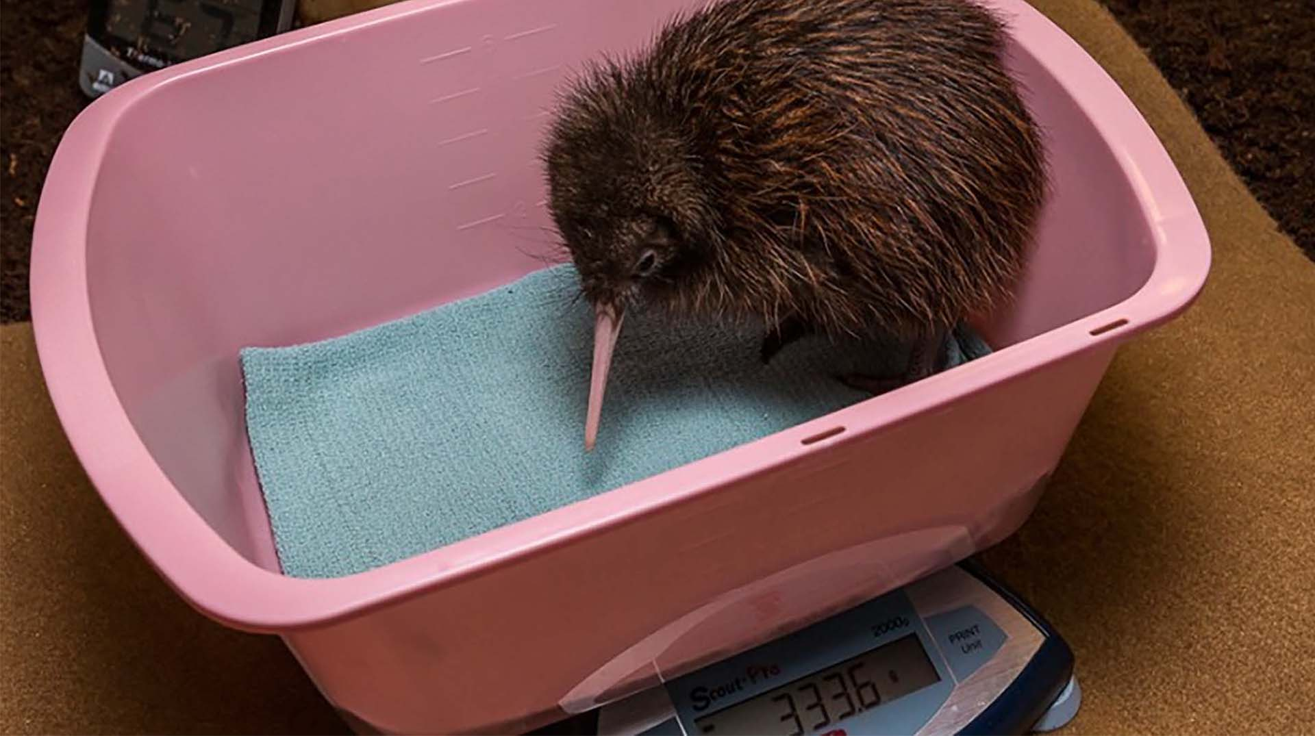 Brown kiwi chick