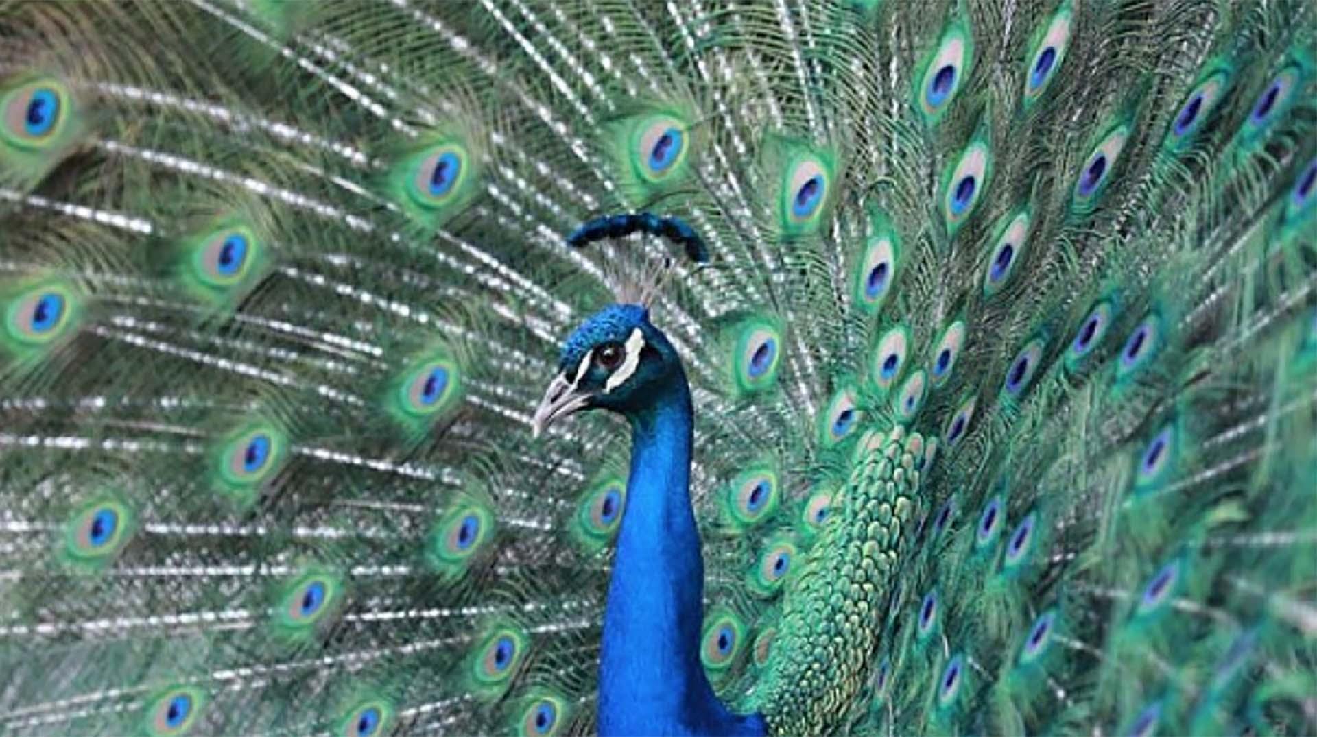 peafowl | san diego zoo animals & plants