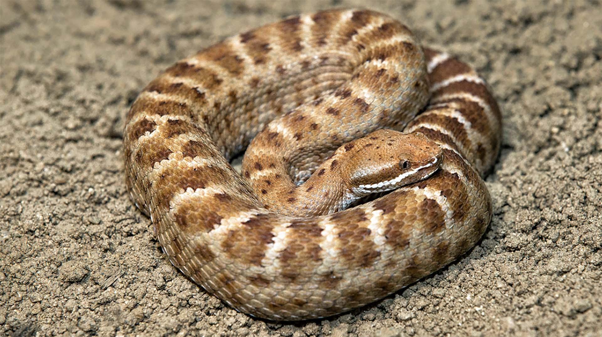 viper snake head