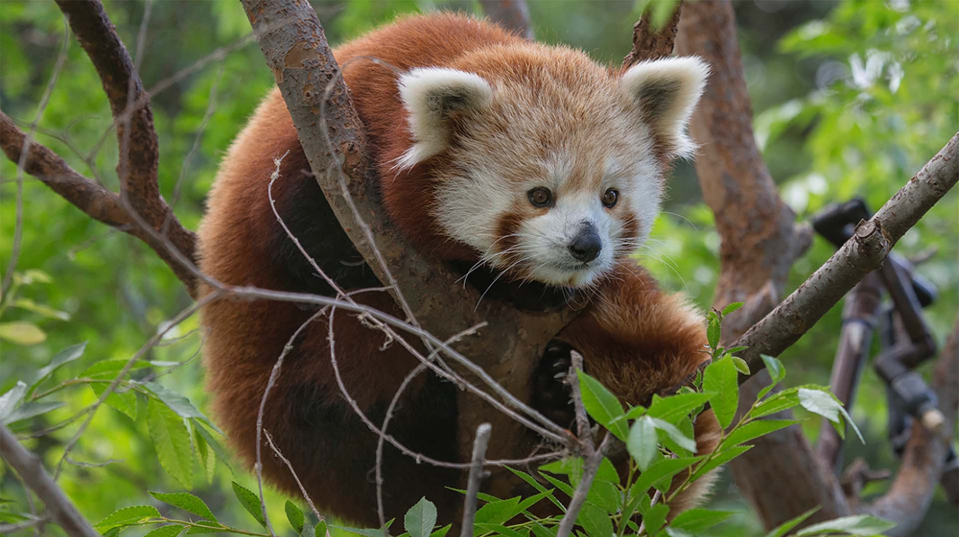 panda animals zoo diego san animal sandiegozoo redpanda spectrum across kingdom plants
