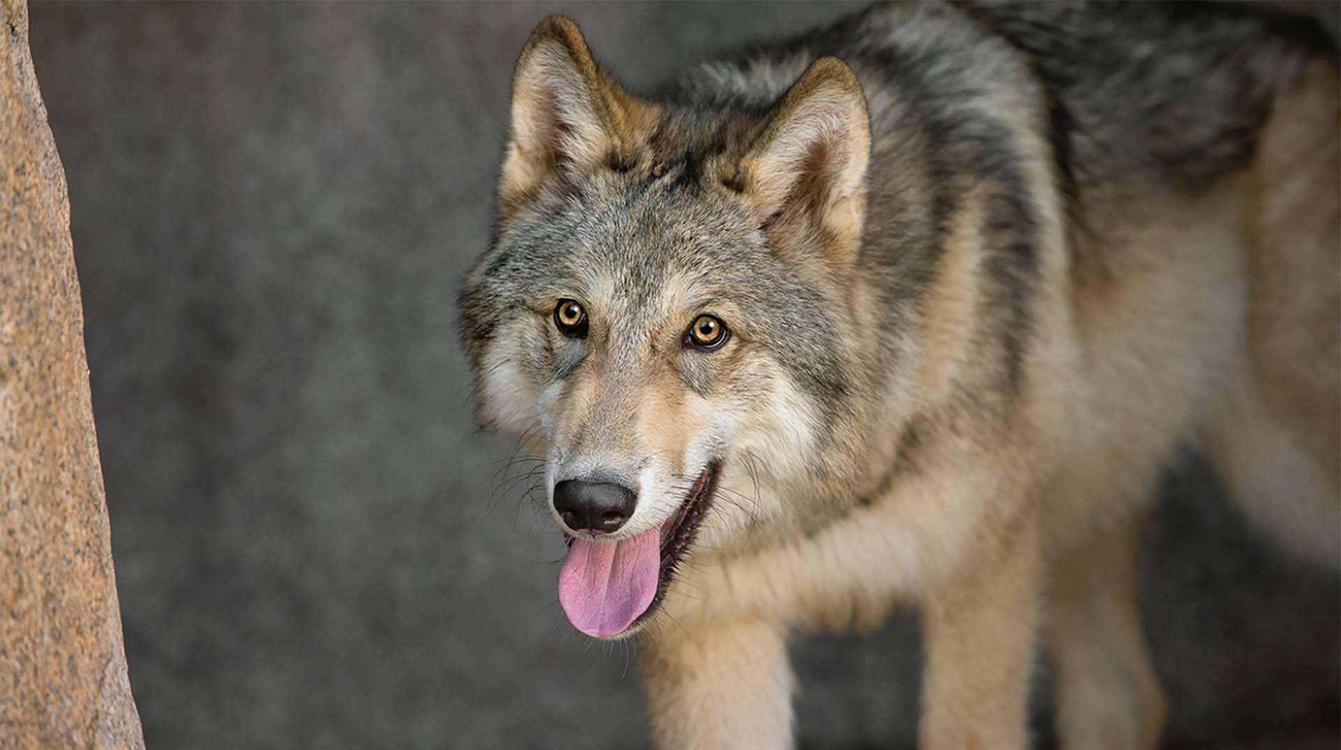 Wolf San Diego Zoo Animals Plants