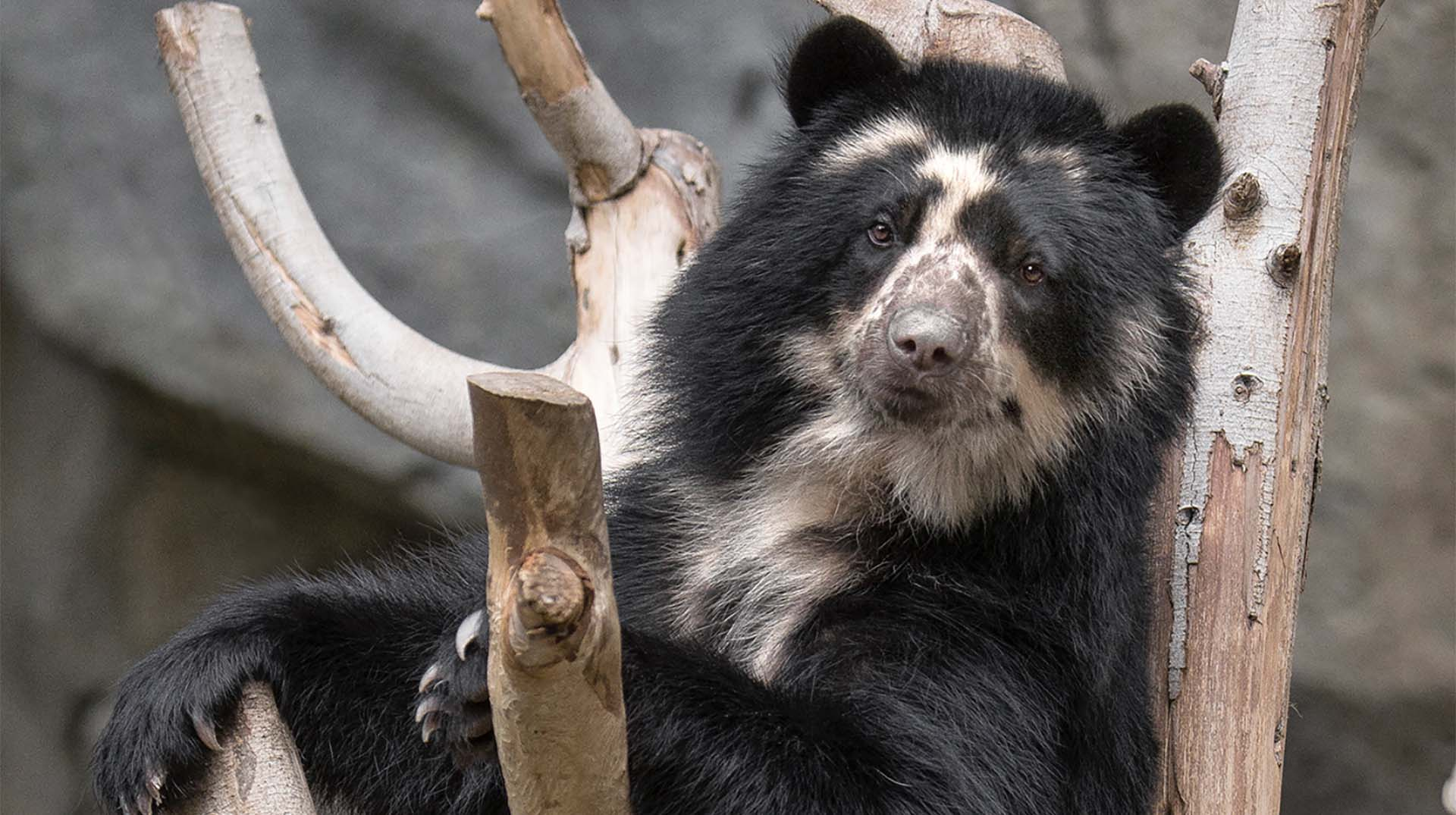 Alba, an Andean Bear at the San Diego Zoo