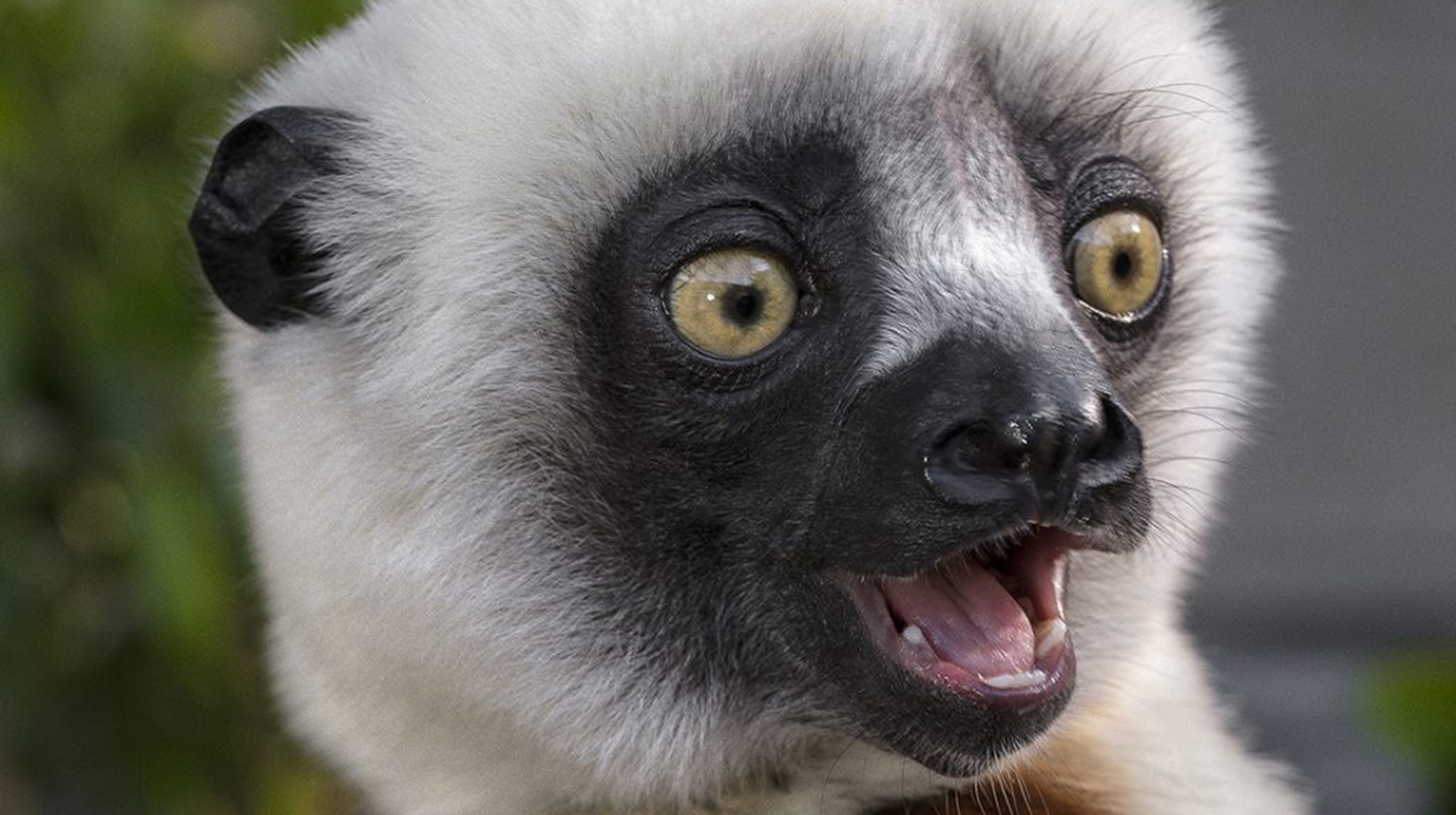 The black and white face of a close up lemur