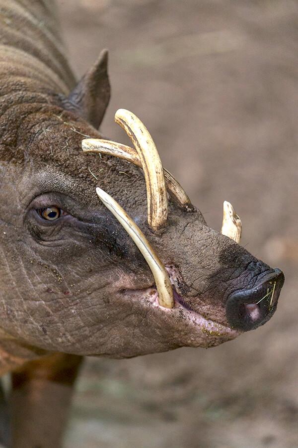 Babirusa | San Diego Zoo Animals & Plants