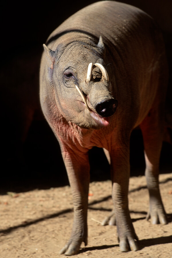 Babirusa | San Diego Zoo Animals & Plants