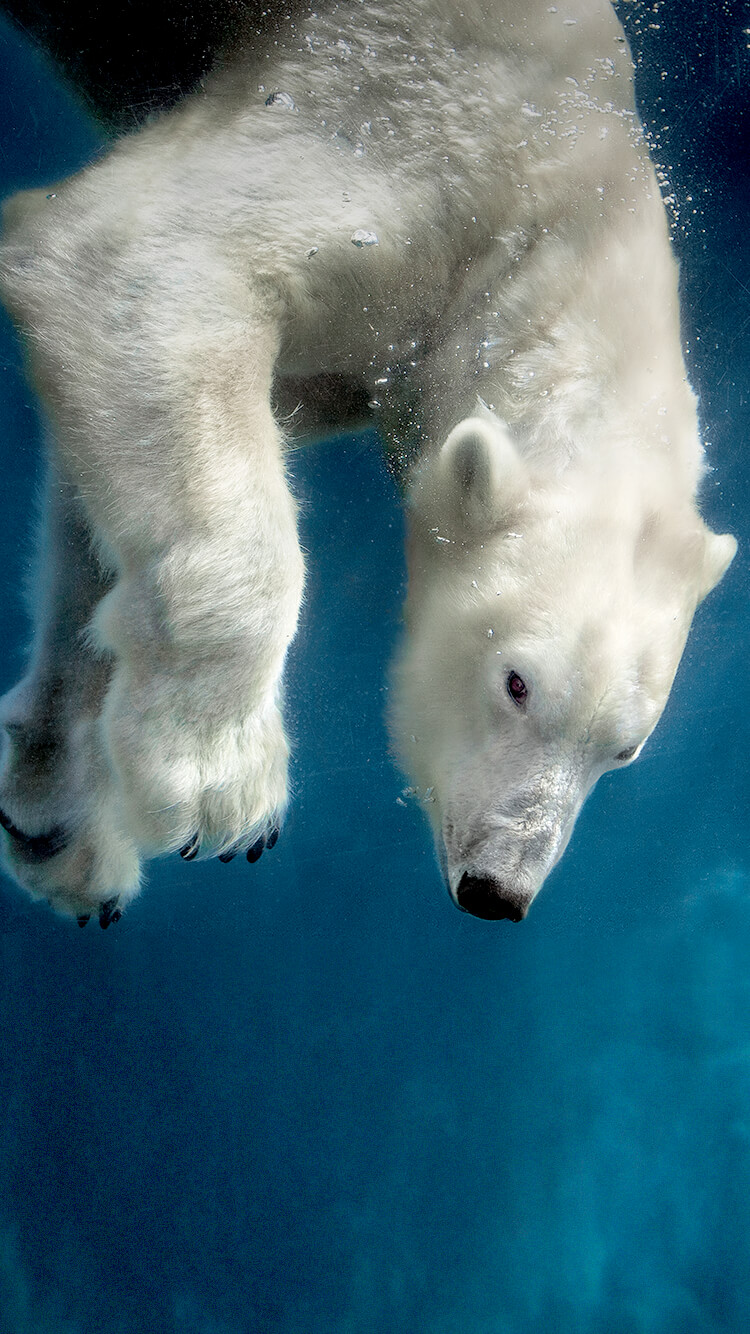 Polar bear diving in a blue pool of water.