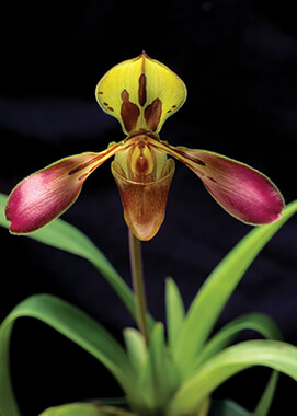 Tiger-striped Paphiopedilum