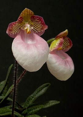 Tiny-flowered Paphiopedilum