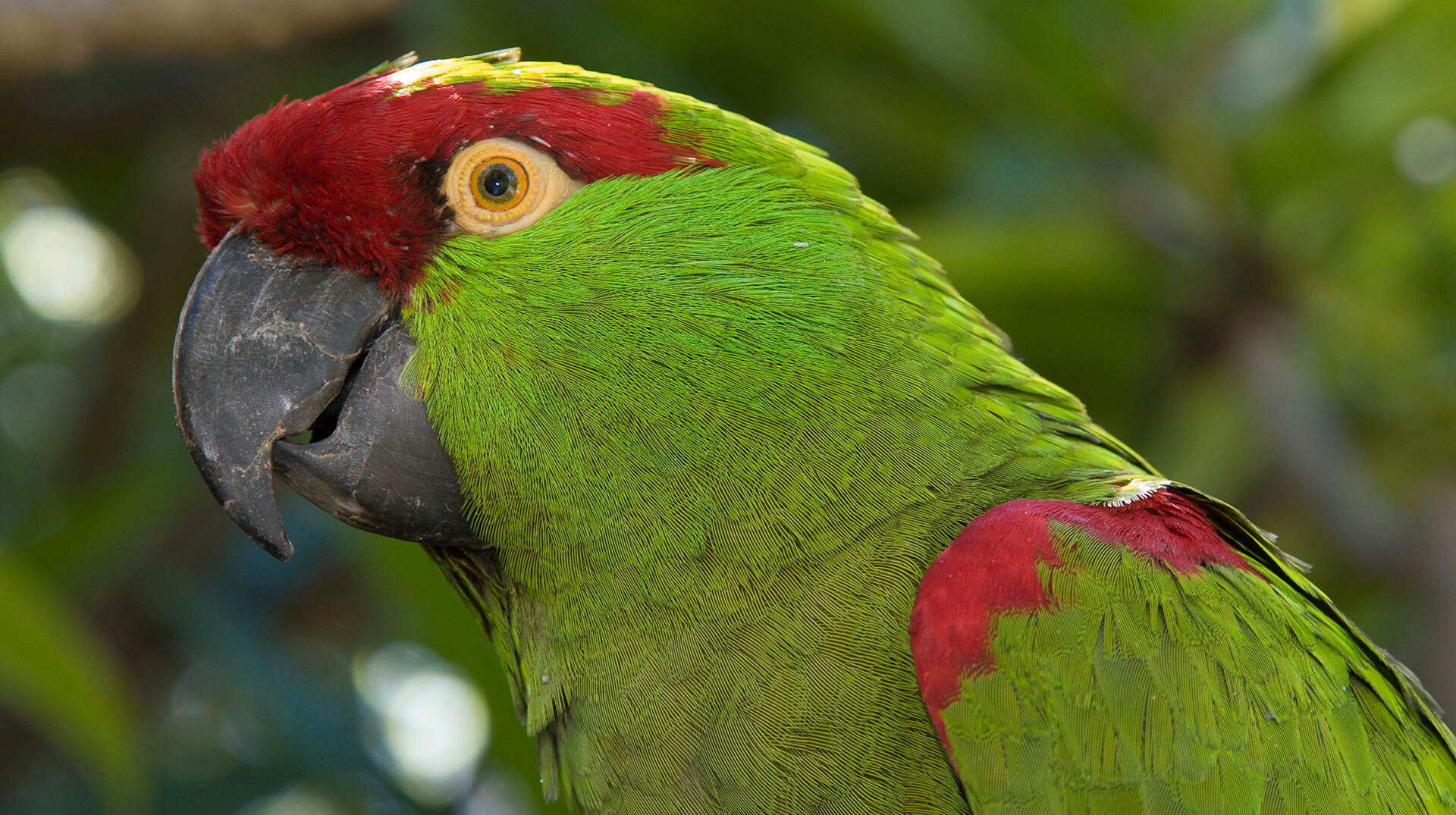 Portrait of an endangered thick-billed parrot.