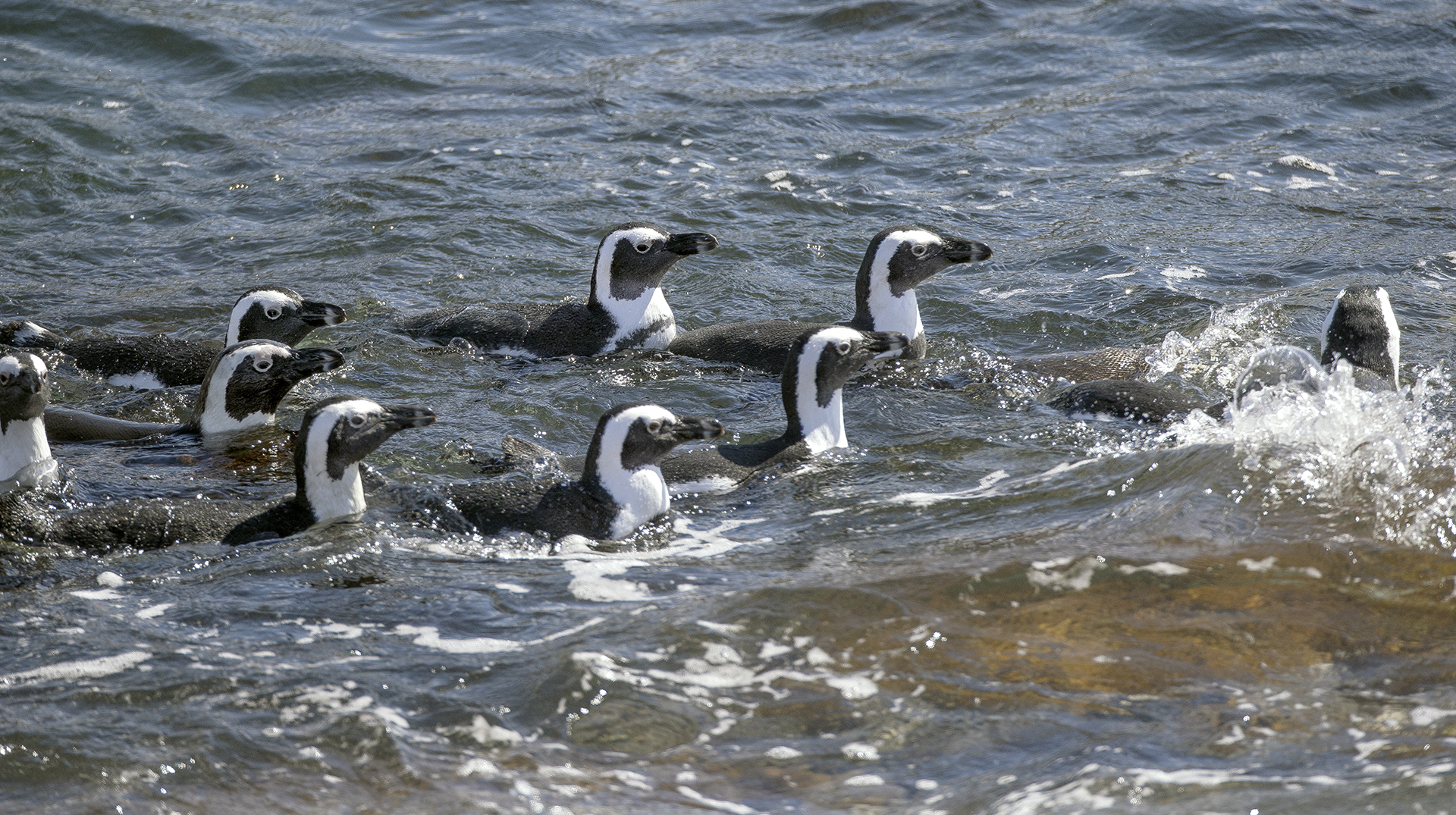 A large group of African Penguins swimming in the ocean in a group
