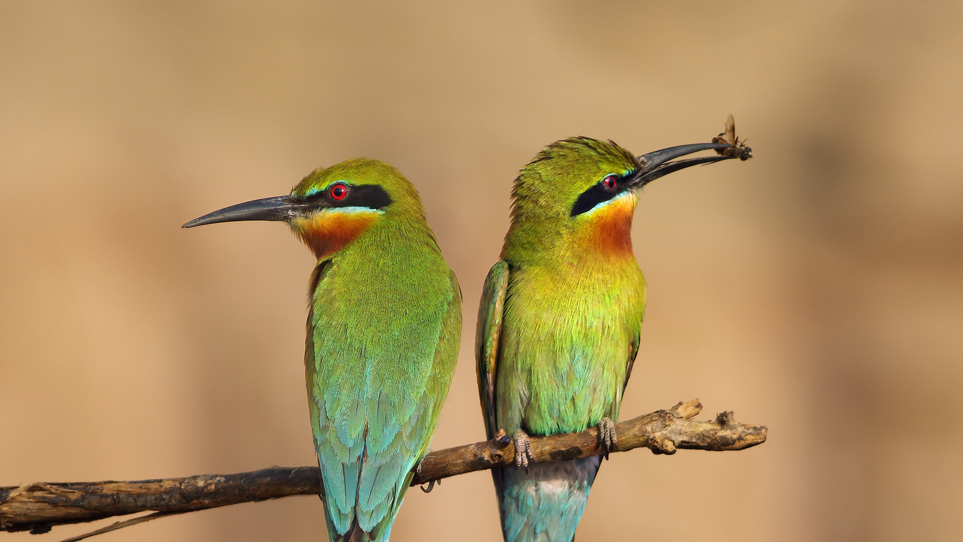 A pair of bee-eaters sitting on a branch, the right-hand bird holding a bee in its beak.