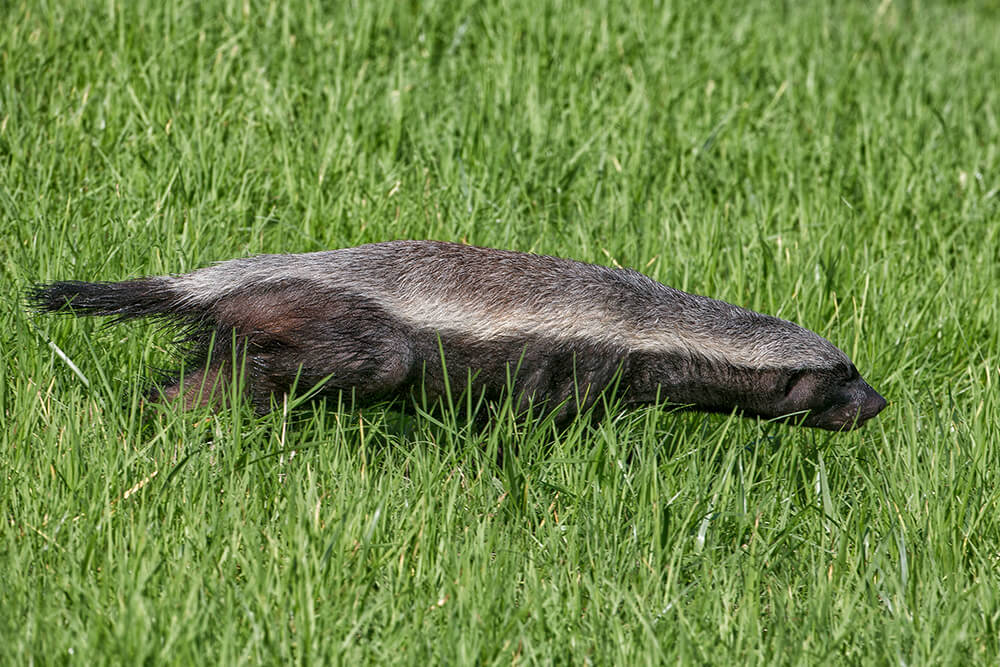 honey badgers can dig dens nine feet deep when frightened they can drop a