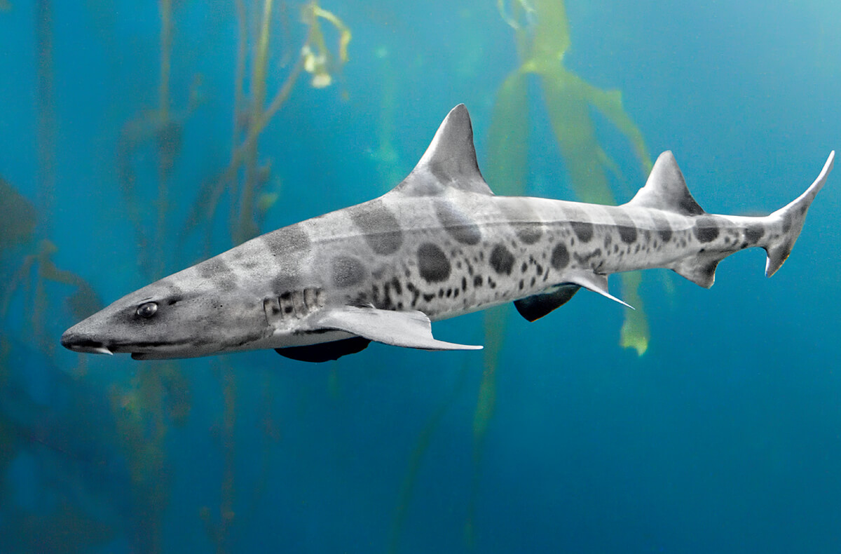 how to draw a leopard shark