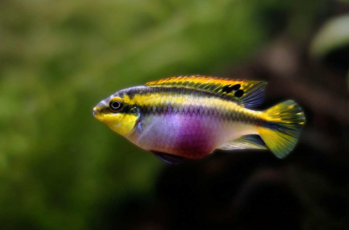 Cichlid Fish   Cichlid San Diego Zoo Animals Plants