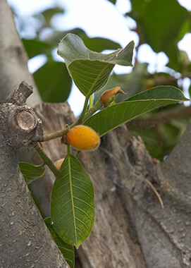 Mysore fig