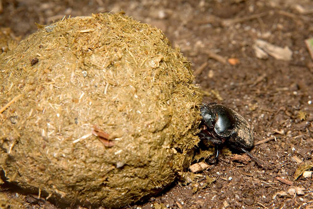 Dung Beetle | San Diego Zoo Animals & Plants