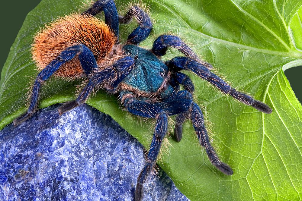 Tarantula on Animals And Their Habitats