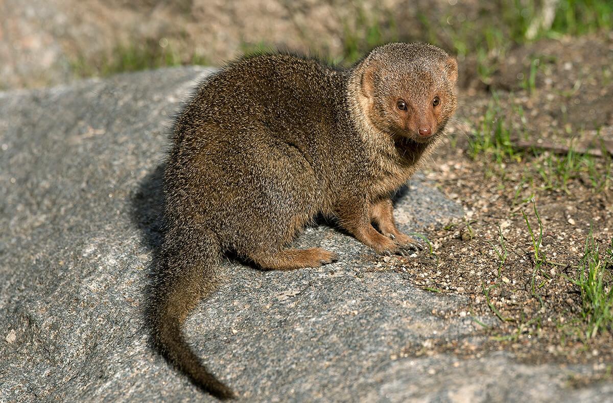 dwarf mongoose san diego zoo animals plants