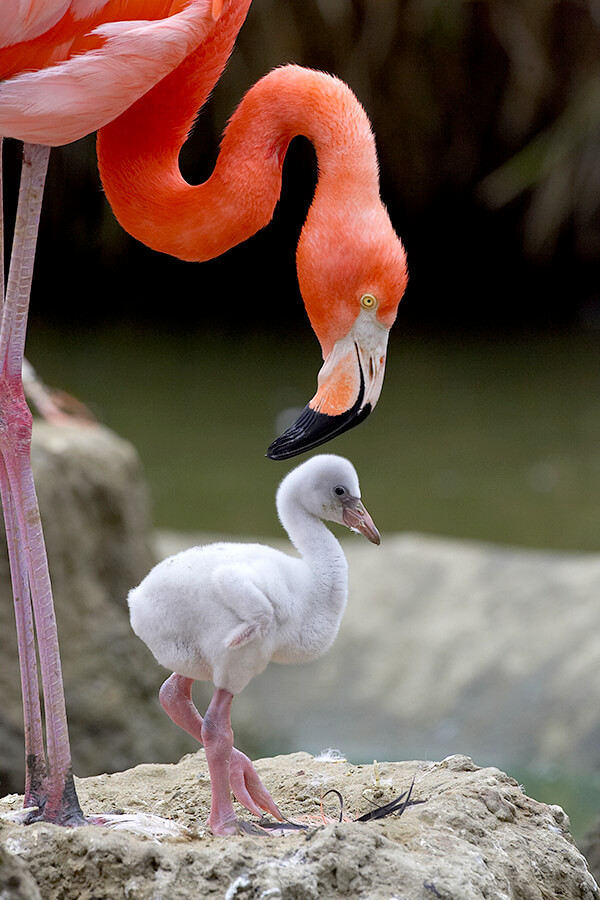 American Flamingo Pa With On Mud Nest
