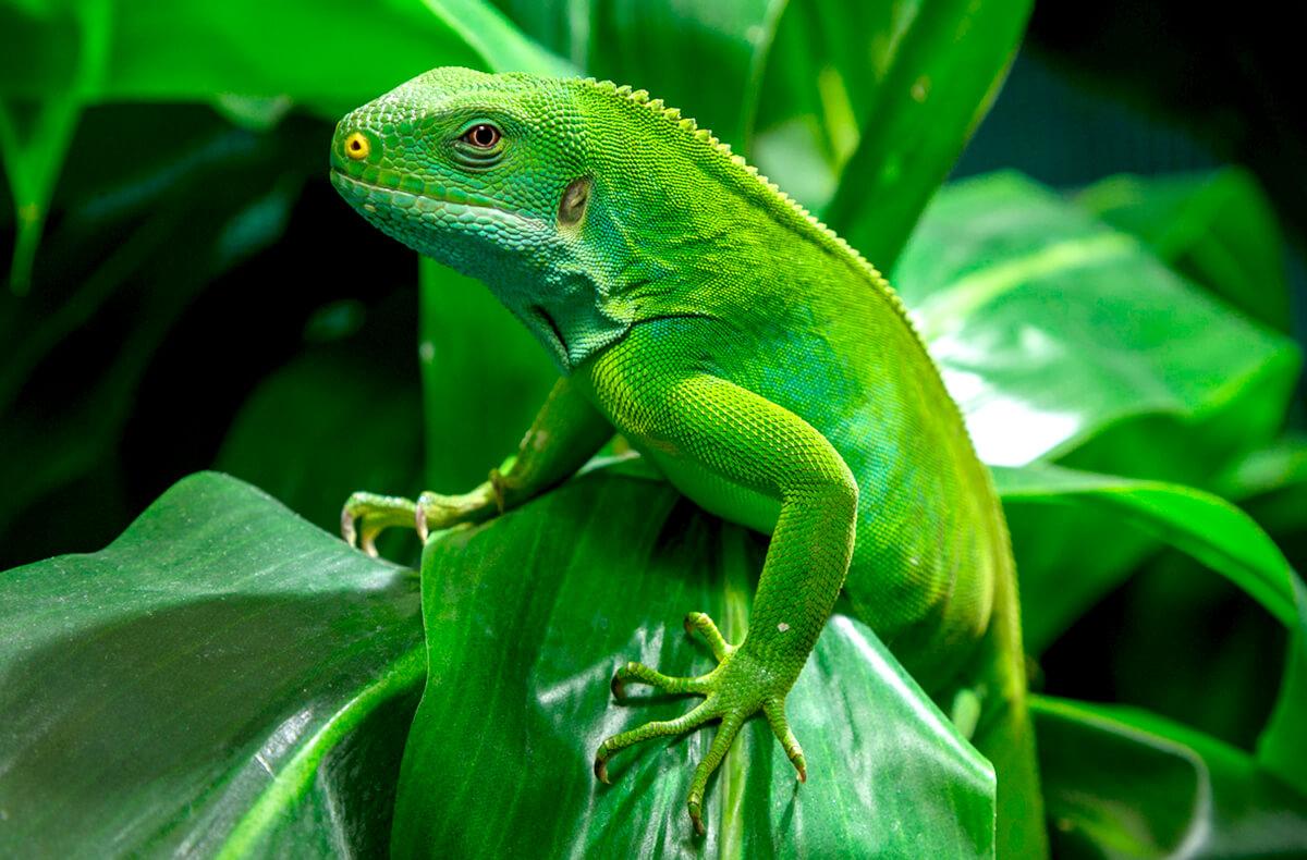 lizard animals zoo iguana lizards fiji diego san banded brain reptiles care plants sandiegozoo