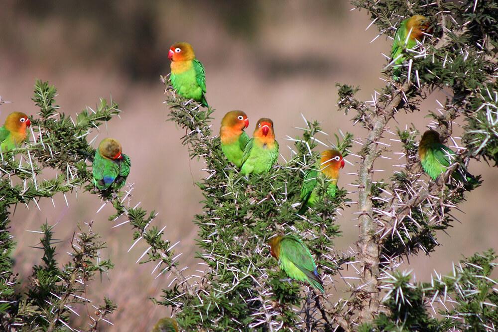 Fischer's lovebird flock in Tanzania