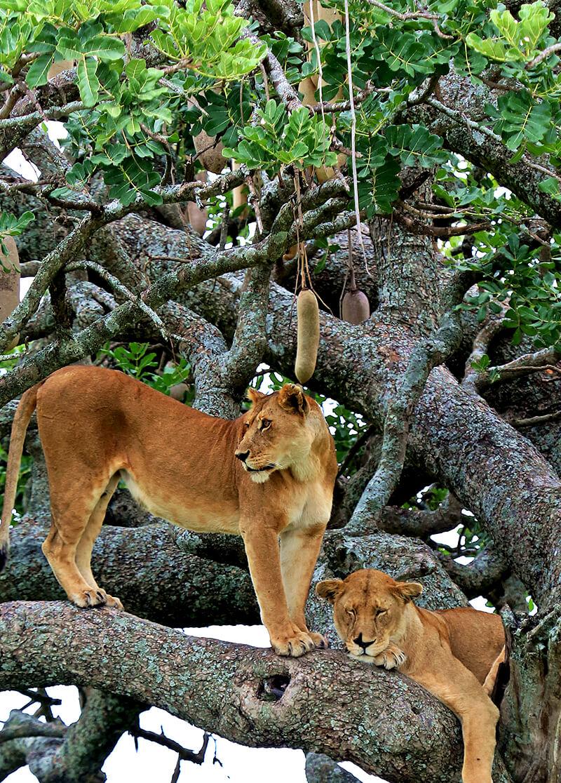 sausage tree san diego zoo animals amp plants
