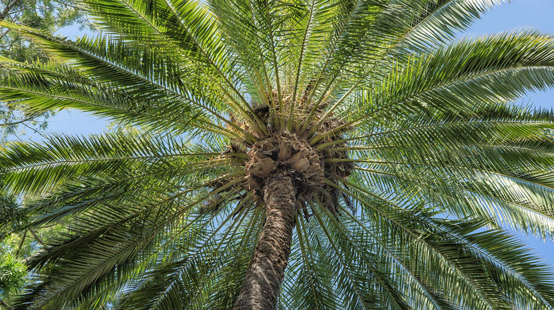 palm san diego zoo animals plants. Black Bedroom Furniture Sets. Home Design Ideas