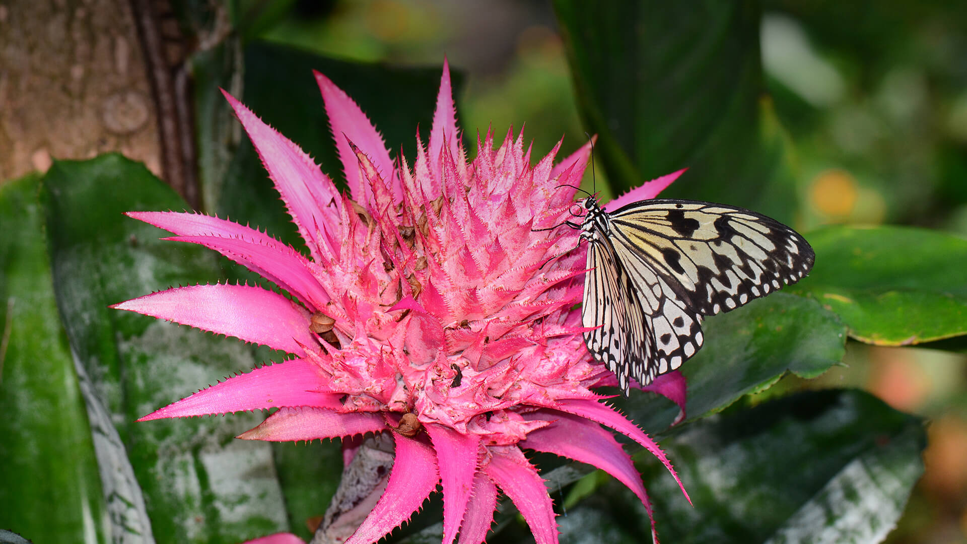 Bromeliad san diego zoo animals plants butterfly sitting on a bright pink bromeliad flower mightylinksfo