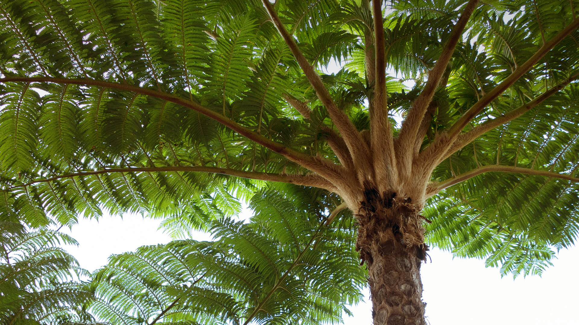 Tree Fern | San Diego Zoo Animals & Plants