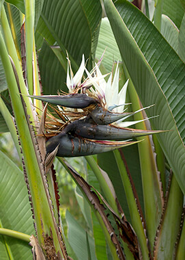 Giant bird-of-paradise flowers