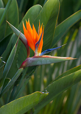 Bird Of Paradise San Diego Zoo Animals Plants