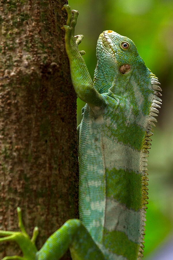 Iguana | San Diego Zoo Animals & Plants