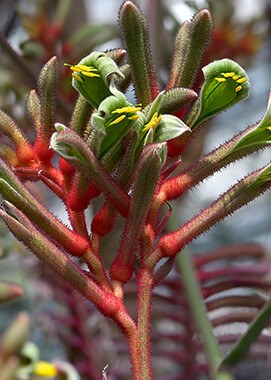 little kangaroo paw
