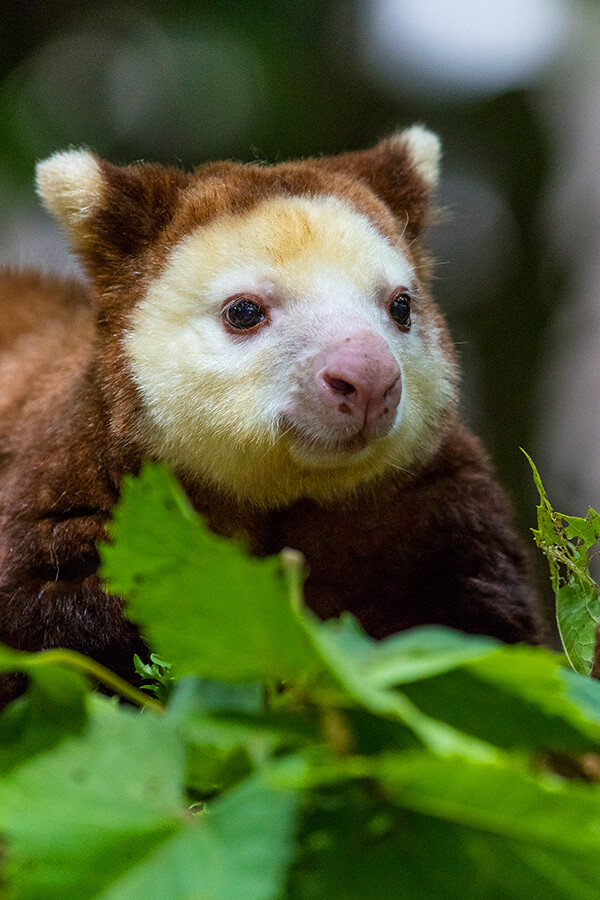tree kangaroos Guests will be invited into the tree kangaroo enclosure with one of our specially trained keepers to have an up-close encounter with a tree kangaroo.
