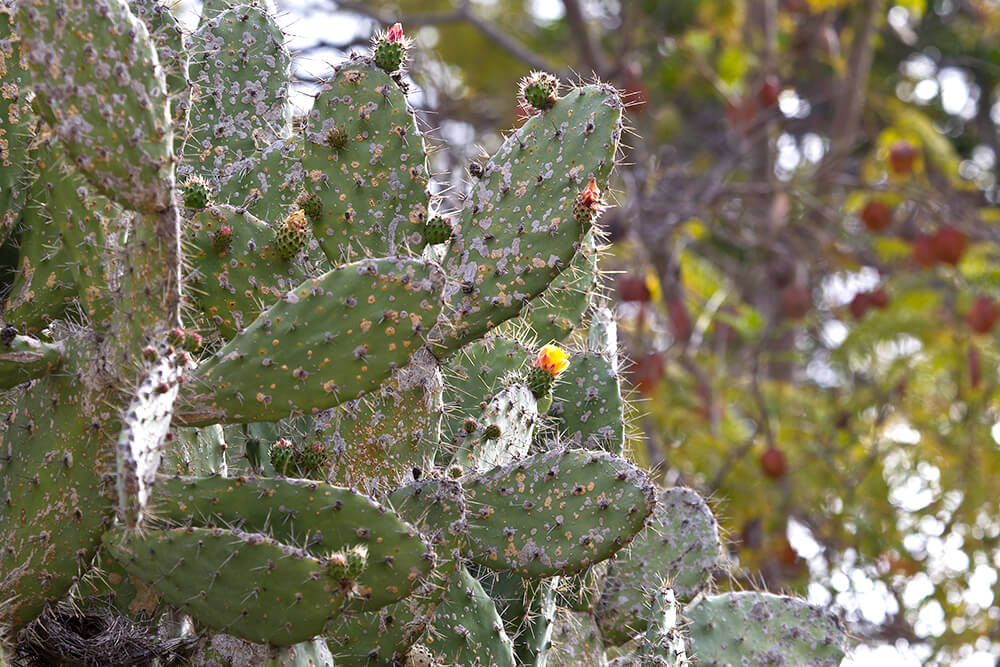 Picture Of Prickly Pear Cactus