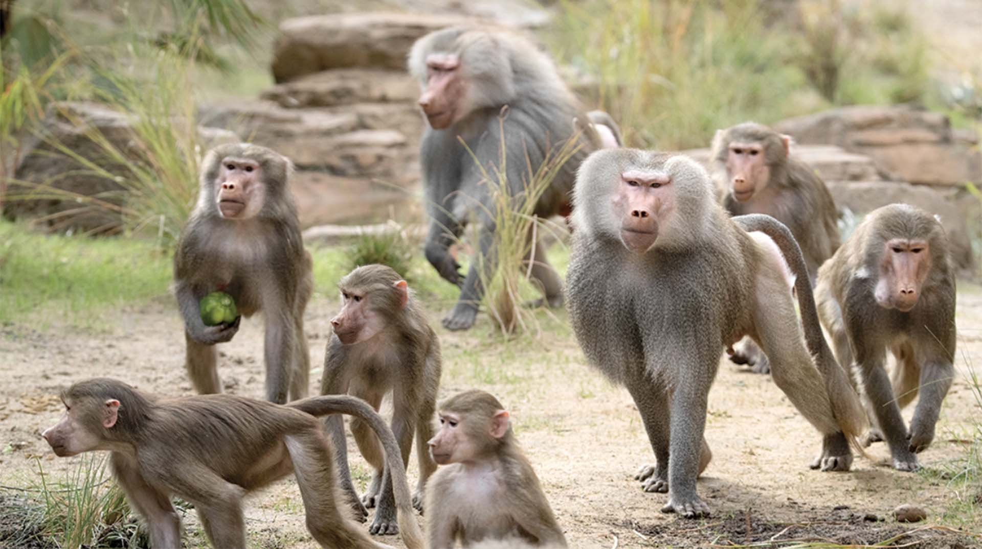 Hamadryas baboons at Africa Rocks