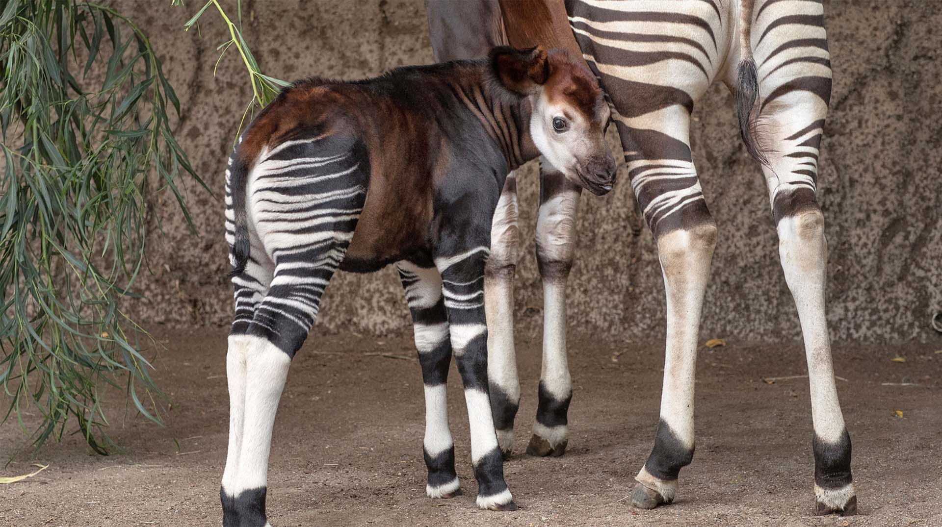 Okapi calf and mother