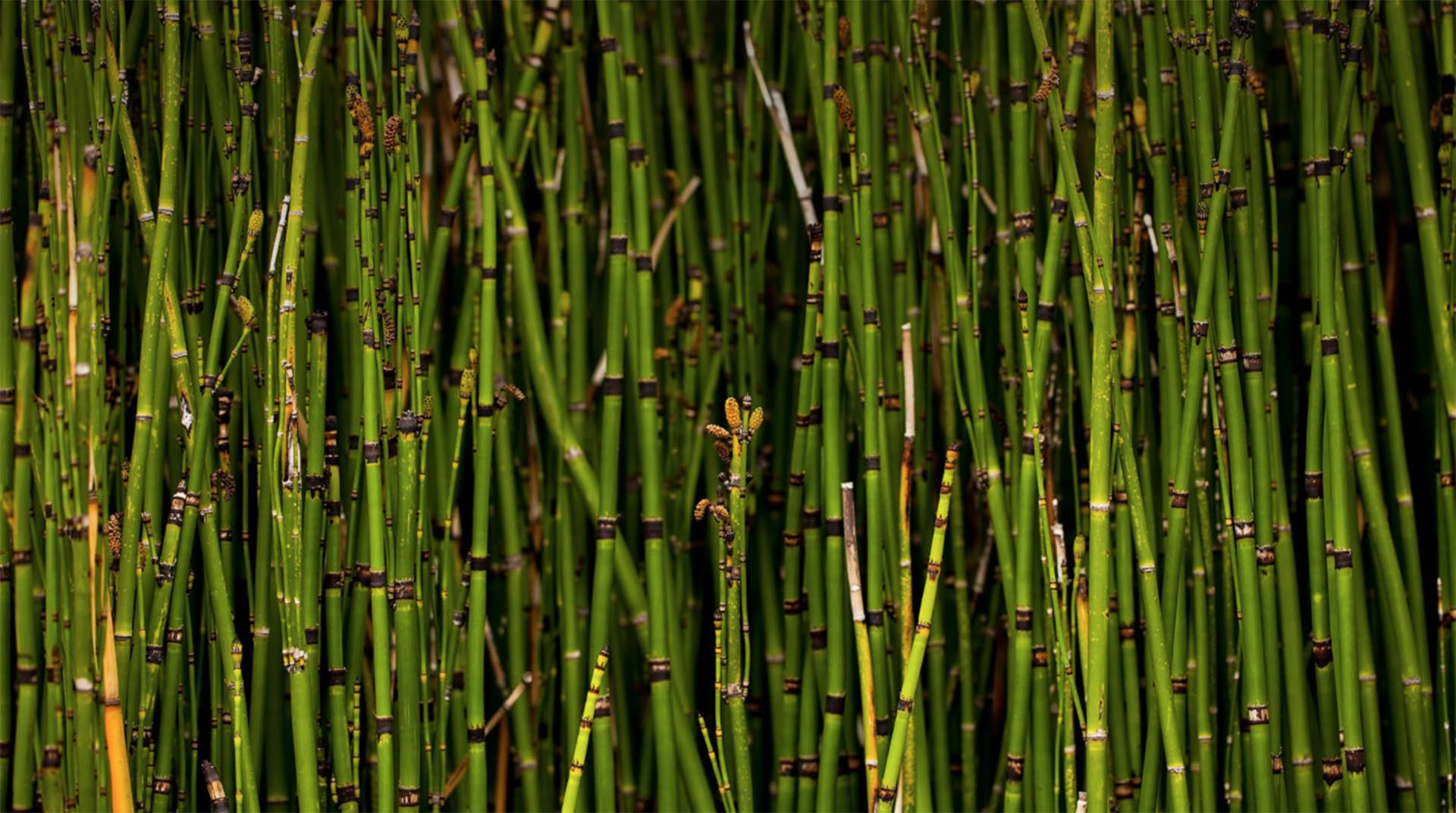 Horsetail Reed San Diego Zoo Animals Plants