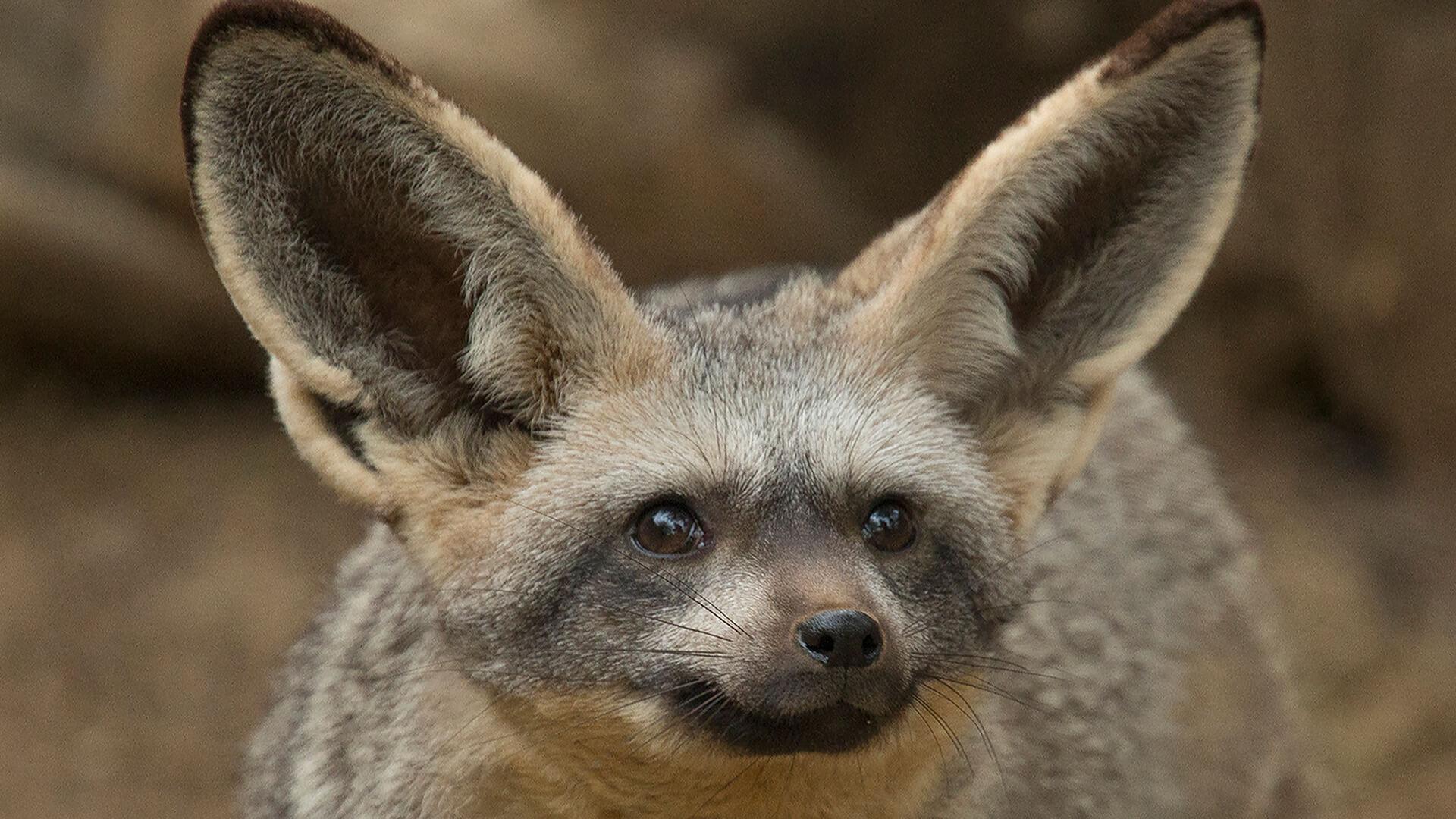 Bat Eared Dog