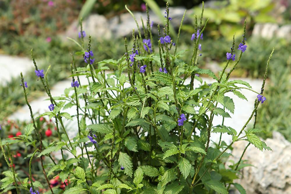 Blue porter weed